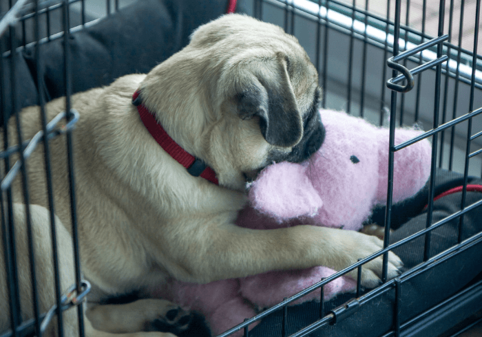 Pug Puppy In Crate
