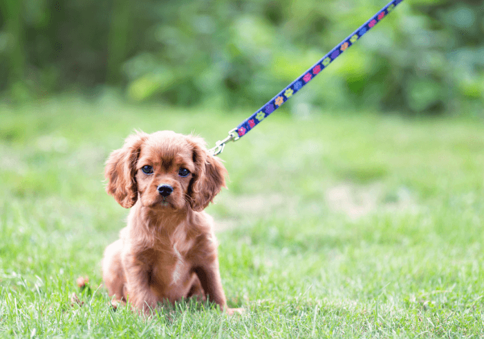 Young Puppy On Leash