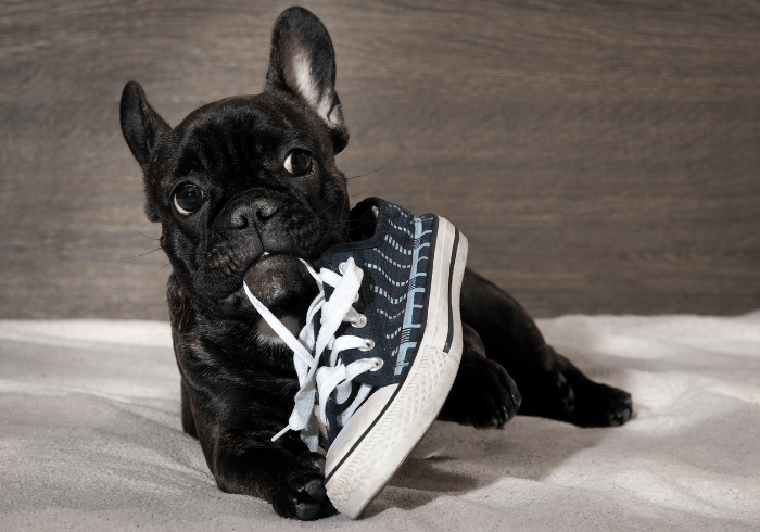 Naughty Puppy Chewing Shoes