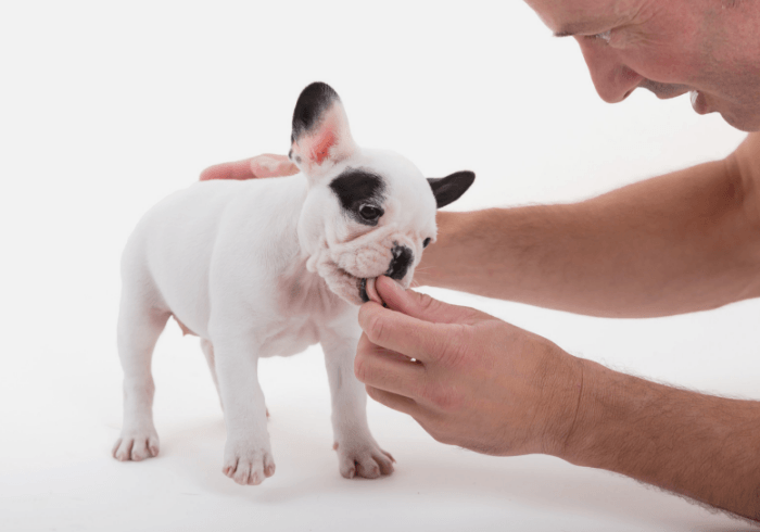 French Bulldog Getting Reward