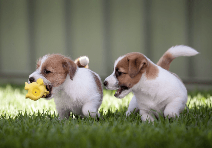 Jack Russell Terrier Puppies Playing