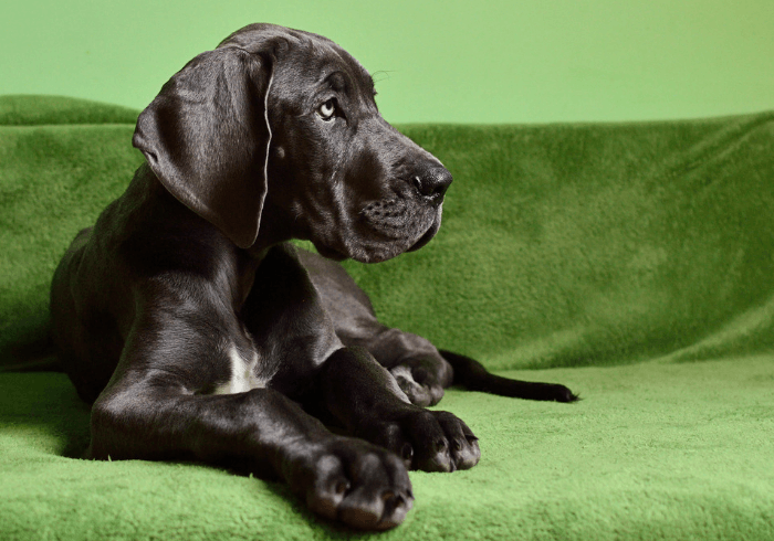 Puppy Laying On Green Couch