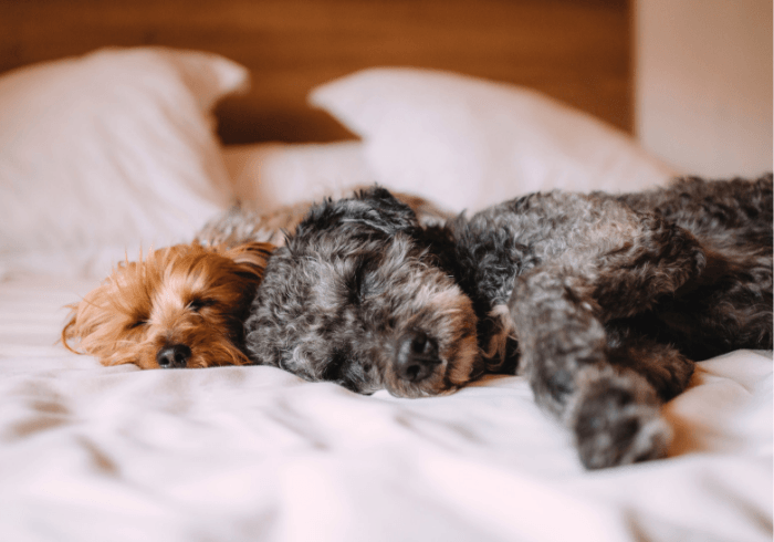 Two Dogs Safely Laying In Bed