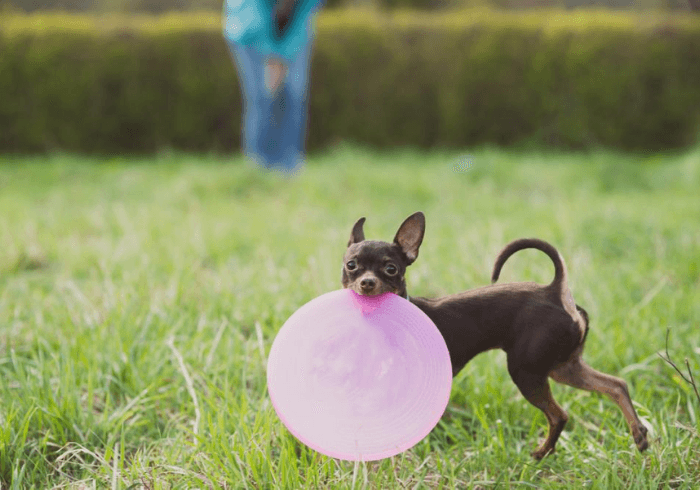 Young Dog With Pink Frisbee