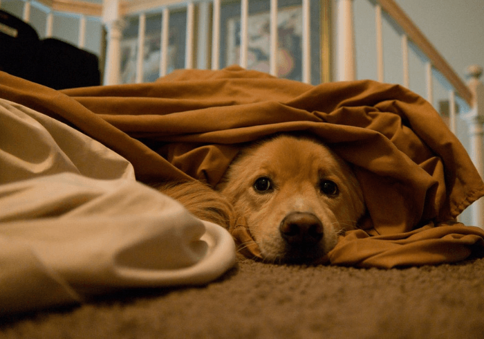 Pup Laying Under Covers Keeping Warm
