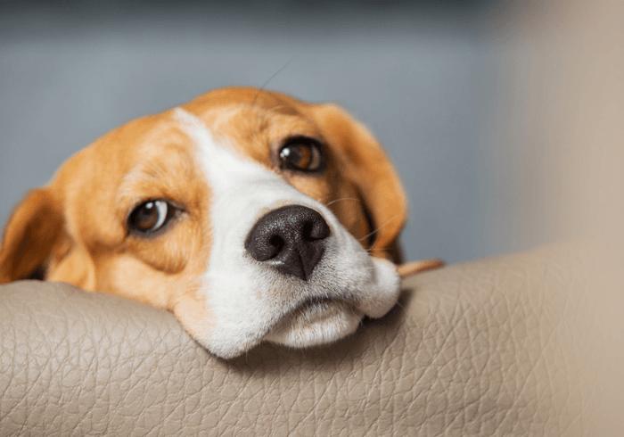 Beagle Who Has Motion Sickness