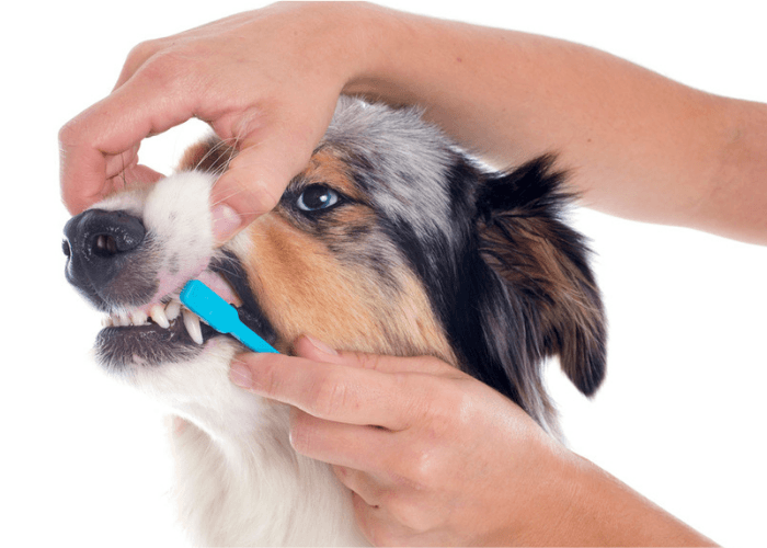 Hands Brushing Canine Teeth
