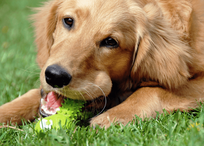 Canine Cleaning His Teeth With Rubber Toy