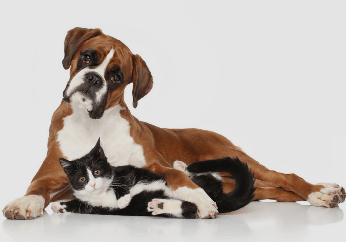 Boxer and cat laying together as best friends