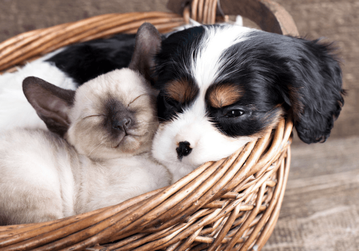 Cavalier King Charles Spaniel puppy in a basket with a kitten