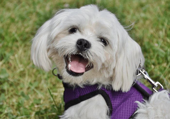 Maltese dog smiling for the camera
