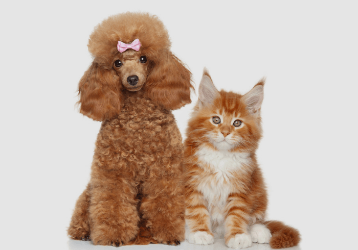 Golden poodle with yellow and white cat