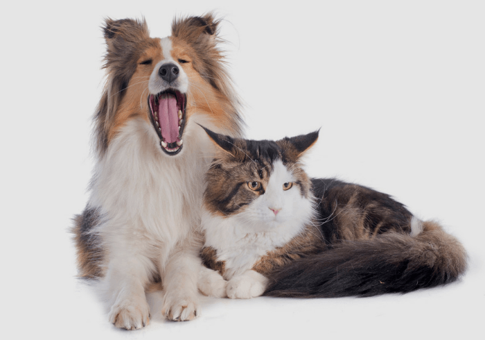 Shetland sheepdog with maine coon cat