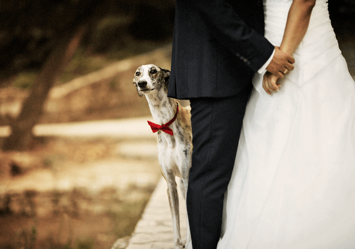 Young dog dressed in tux at parents wedding