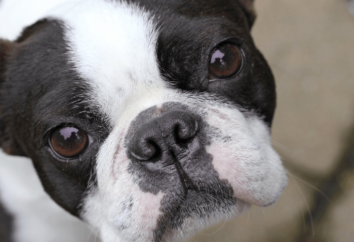 Boston terrier who is more likely to get eye infection with bulging eyes