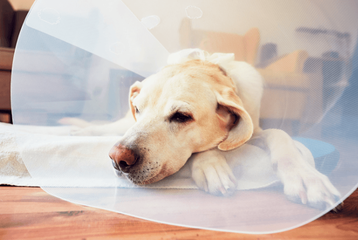 Lab at home after his dog surgery
