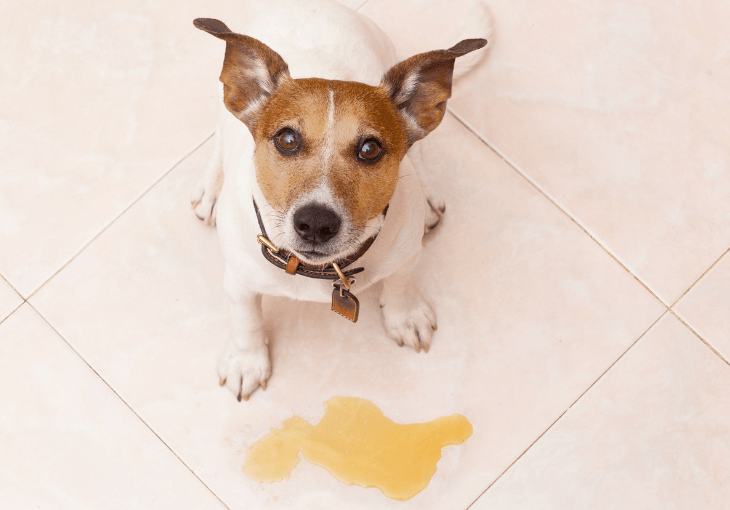 Tips For Dealing With Excitement Urination In Dogs