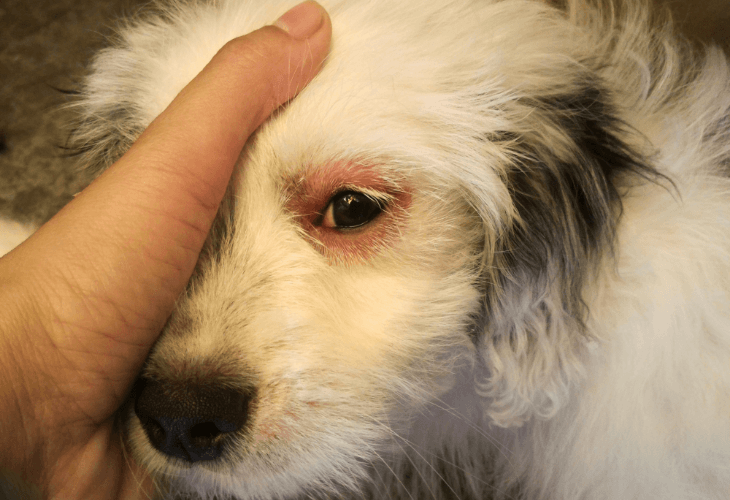 Canine with eye infection of red swollen eyes