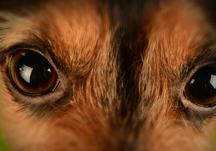 Symptoms and prevention for dog eye infections