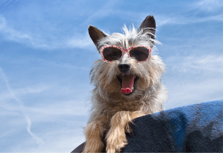 Canine wearing sunglasses for protection from the sun