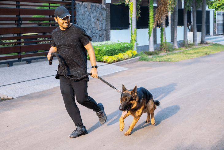 GSD walking on leash perfectly