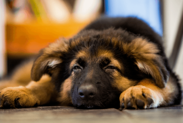 Easy trainable young German Shepherd Pup