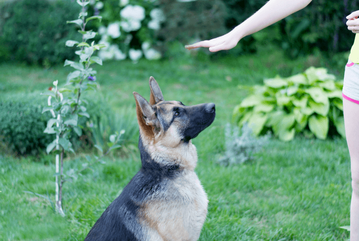 German Shepherd mastering the sit command