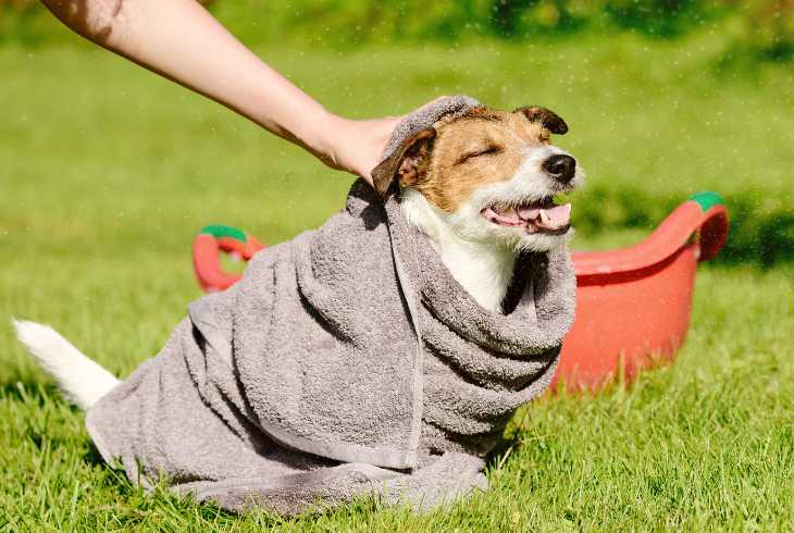 Pet dog getting dried off after his bath