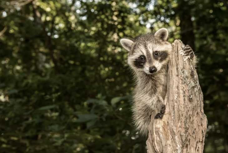 Raccoon carrying the rabies virus