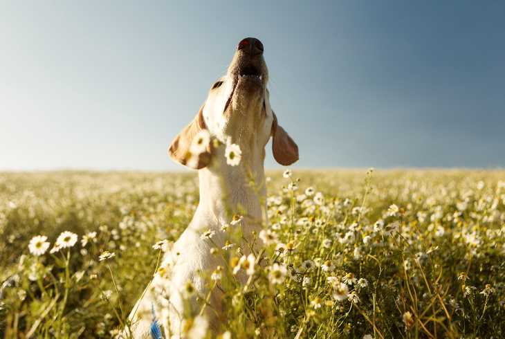 Dog sitting in field barking
