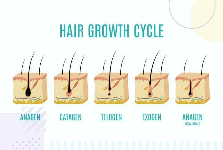 Pet hair growth cycle