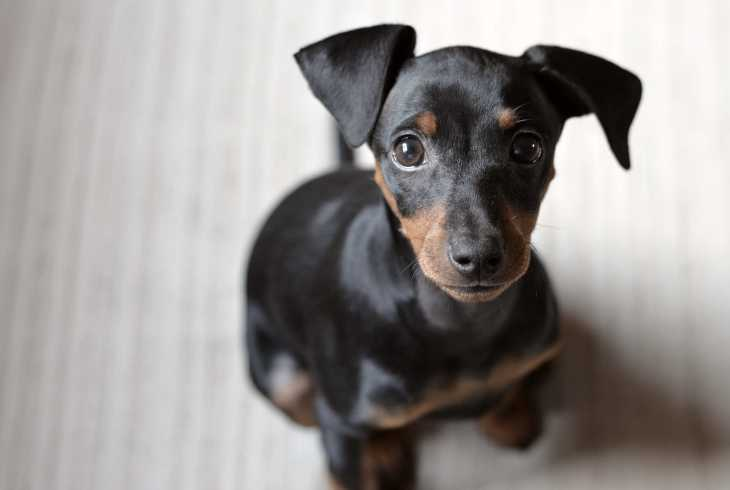 Dobermann Pinscher puppy