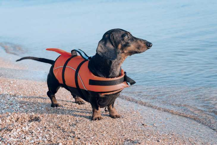 Dachshund with life-jacket getting ready for first swim