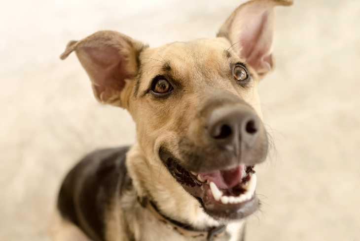 The every loyal German Shepherd dog