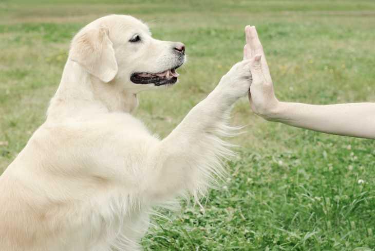Loyal Golden Retriever giving high-five