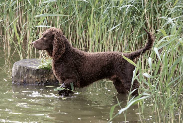 American Water Spaniel in the river