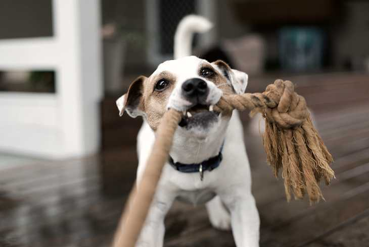 Dog playing tug of war game