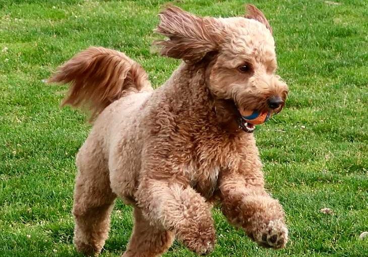 Goldendoodle Dog Overview