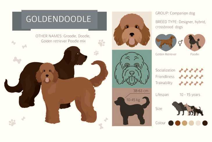 Hybrid designer Goldendoodle dog breed