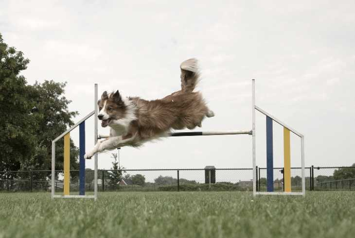 Dog running obstacle course