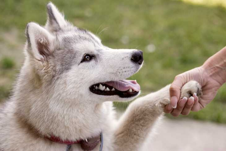 Husky pup giving handshake