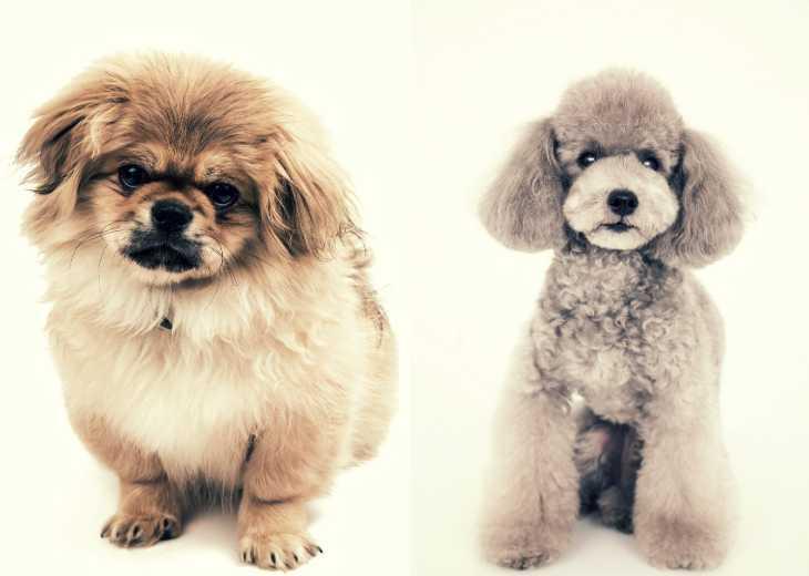 Pekingese and Poodle on white background