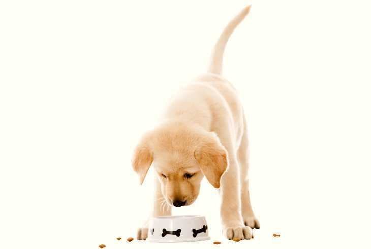 Yellow lab puppy eating out of dog dish
