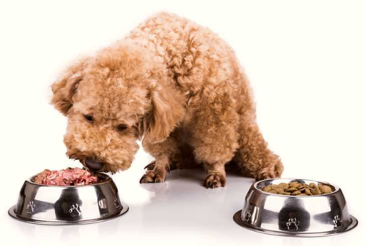 Poodle choosing between wet and dry dog food bowls