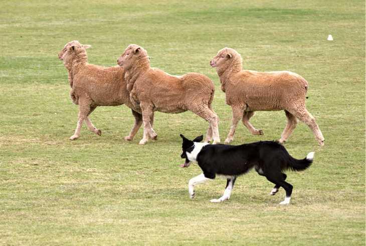 Border Collie herding three brown sheep