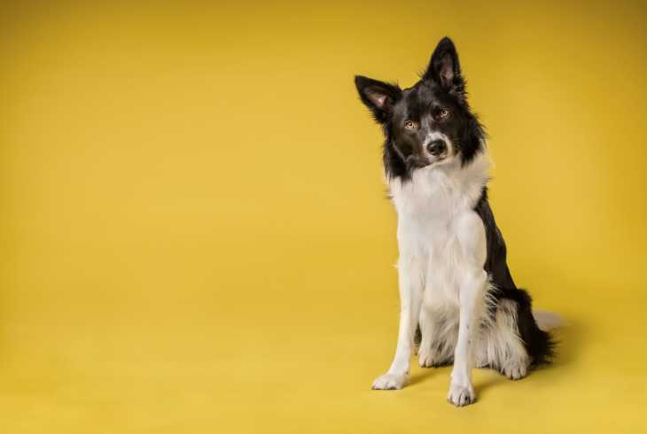 Spunky Collie on yellow background