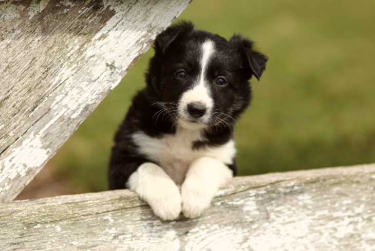 Closeup of a young Border Collie