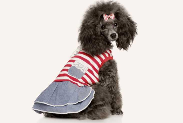 Poodle wearing a sporty dress