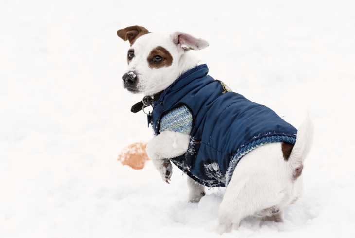 Dog playing in snow with winter jacket and mitts on