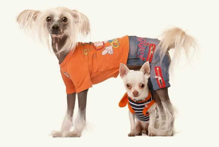 Chihuahua and Chinese Crested dog wearing clothes